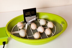 Eggs in an incubator. Duckling eggs lying in an open incubator with hygrometer to check humidity Stock Photos