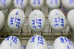 Eggs in incubator, hatching apparatus. Stock Image