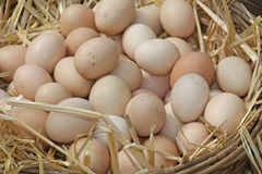 Eggs just laid on a bed of fluffy straw Stock Photos