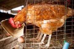 Eggs l'azienda agricola di pollo Immagine Stock