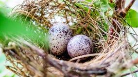 Eggs l'uccello in nido per il libro della copertura per fondo Fotografia Stock Libera da Diritti