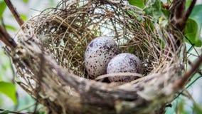 Eggs l'uccello in nido per il libro della copertura per fondo Immagine Stock Libera da Diritti