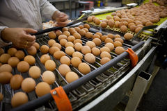 Eggs la cadena de producción imagenes de archivo
