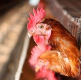 Eggs la ferme de poulet Photographie stock libre de droits
