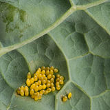Eggs of Large cabbage white butterfly (Pieris brassicae) Stock Photos