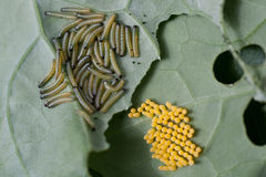Eggs and larvae on leaf. Eggs and larvae of the cabbage white butterfly, Pieris brassicae on brassica leaf Stock Images