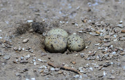 Eggs of Little tern. Eggs of Little tern or Sternula albifrons on the beach Royalty Free Stock Photo