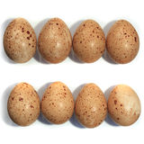 Eggs of the Lyrurus tetrix, Black Grouse. Stock Photo