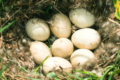 Eggs nest Royalty Free Stock Photo