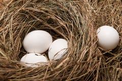 Eggs in nest. Three white eggs in the straw nest Stock Photo