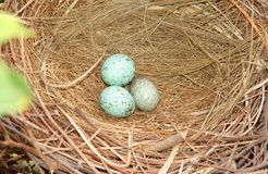 Eggs in nest. Three crow eggs in fine nest Stock Images