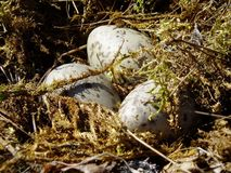 Eggs in a nest. Closeup photo of three seagull eggs in nest royalty free stock image