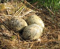 Eggs in nest. Royalty Free Stock Photography