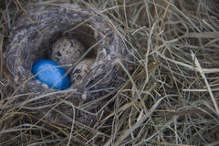 Eggs in the nest on the background of dry grass. Three eggs of the little birds, the quail are in the nest. One egg festive painted in blue color Stock Photo