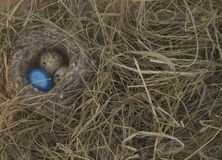 Eggs in the nest on the background of dry grass. Three eggs of the little birds, the quail are in the nest. One egg festive painted in blue color stock photography