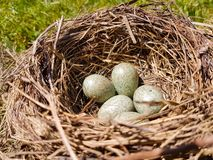 Eggs In a Nest. Blue eggs In a natural bird`s nest stock image