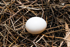 Eggs in nest. Close up Stock Image