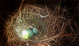 Eggs in nest with a glow. Three eggs in a nest with one egg glowing in the sun...translucent Royalty Free Stock Photo