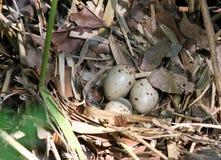 Eggs in a nest of a rare acquitico bird near a swamp 2 Stock Photo