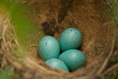 Eggs in a nest Royalty Free Stock Image