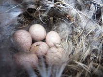 Eggs in a nest Stock Images