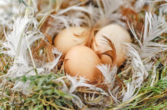 Eggs in the nest. Three brown eggs in the nest royalty free stock photo