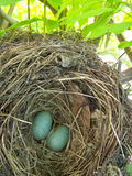 Eggs in the nest on the tree royalty free stock image