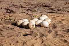 Eggs o camelus fêmea do Struthio da avestruz Fotos de Stock Royalty Free