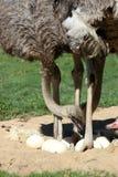 eggs ostrichs Стоковые Изображения RF