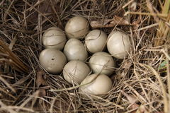 Eggs of pheasant Stock Images