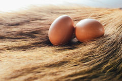 Eggs are placed on grass. Place the eggs in a nest in a pile of hay with a natural chicken to incubate in a haystack Stock Photography