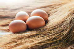 Eggs are placed on grass. Place the eggs in a nest in a pile of hay with a natural chicken to incubate in a haystack Royalty Free Stock Photography