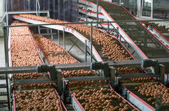 Eggs on a poultry factory. Fresh brown eggs on a transportation line on a modern poulty factory stock image