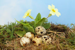 Eggs and primrose Stock Photos