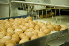 Eggs on production line Stock Photo
