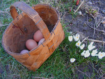 Eggs in punnet. With crocus Stock Photo