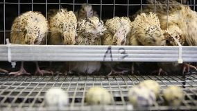 Eggs of quails in cages at poultry farm stock video