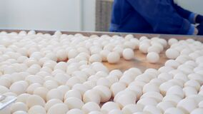 Eggs sorting production line at chicken farm. stock footage