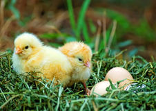Eggs and two pretty chickens Stock Photos