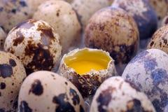 Eggs weibliche Wachteln Lizenzfreie Stockfotos