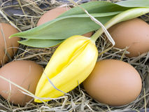 Eggs and yellow tulip lying on hay Royalty Free Stock Photos