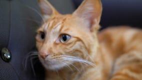 Egipcio rojo Cat Lying en la silla Gato pelirrojo con los ojos grandes almacen de metraje de vídeo