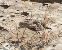 Egipcjanin żmii pustynny wąż w piasku Zdjęcie Stock