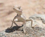 Egipcjanina agama pustynna jaszczurka na skale Obrazy Stock