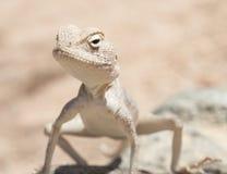 Egipcjanina agama pustynna jaszczurka na skale Fotografia Royalty Free
