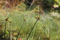 Egipcjanina papieru roślina Zdjęcia Royalty Free