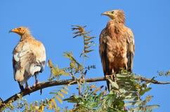 Egipscy sępy na gałąź na Sokotra wyspie, Jemen (Neophron Percnopterus) Fotografia Royalty Free