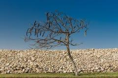 Egipska akacja Vachellia nilotica obraz stock