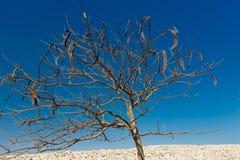 Egipska akacja Vachellia nilotica zdjęcie royalty free
