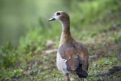 Egipska gąska, święty ptak Zdjęcia Stock